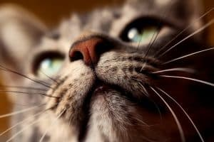 how do cats use their whiskers