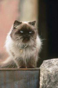 sassy cat from homeward bound