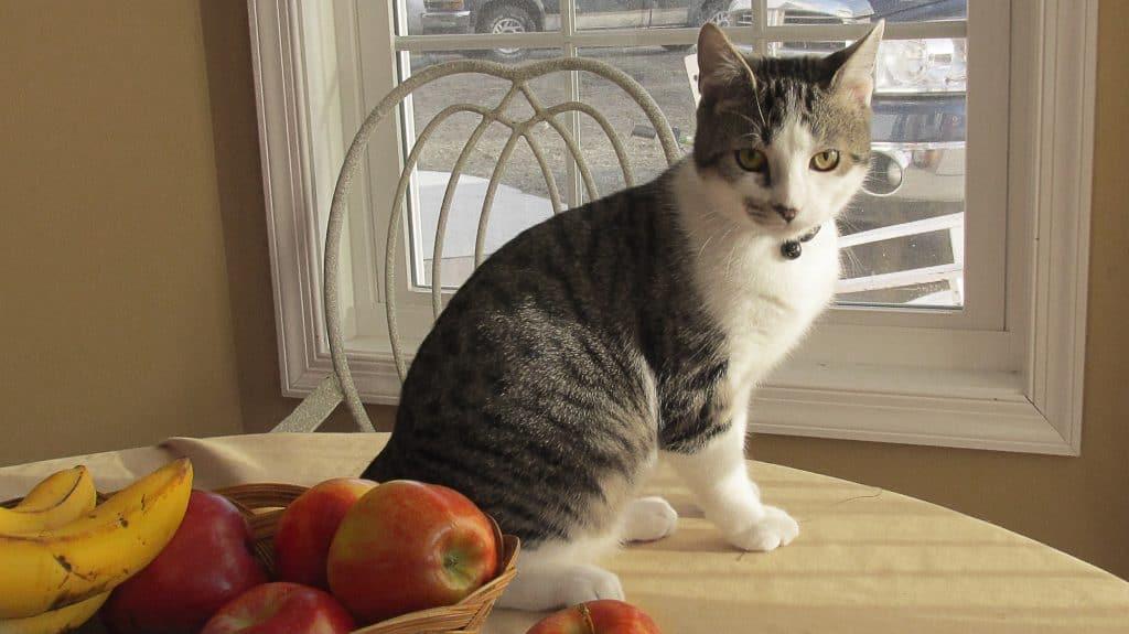 kitten wondering if can cats eat applesauce