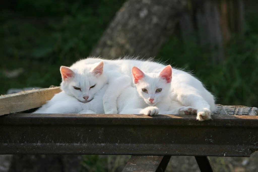 albino cat relaxing with its feline friend