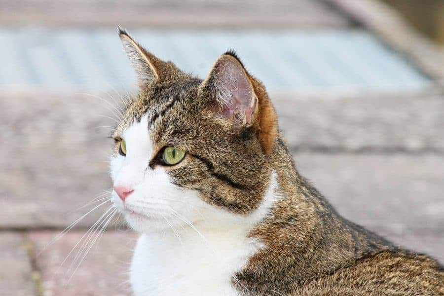 cat-ears-forward-e1562988514182