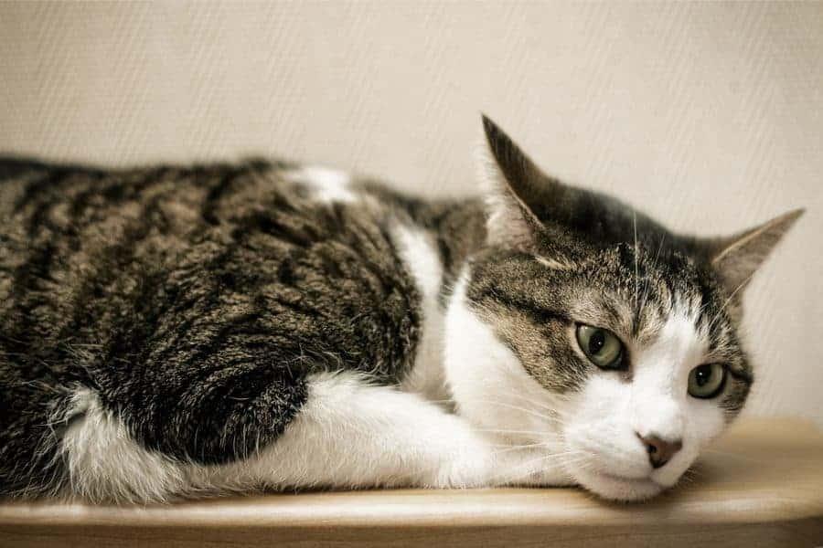 cat-ears-side-e1562988755713