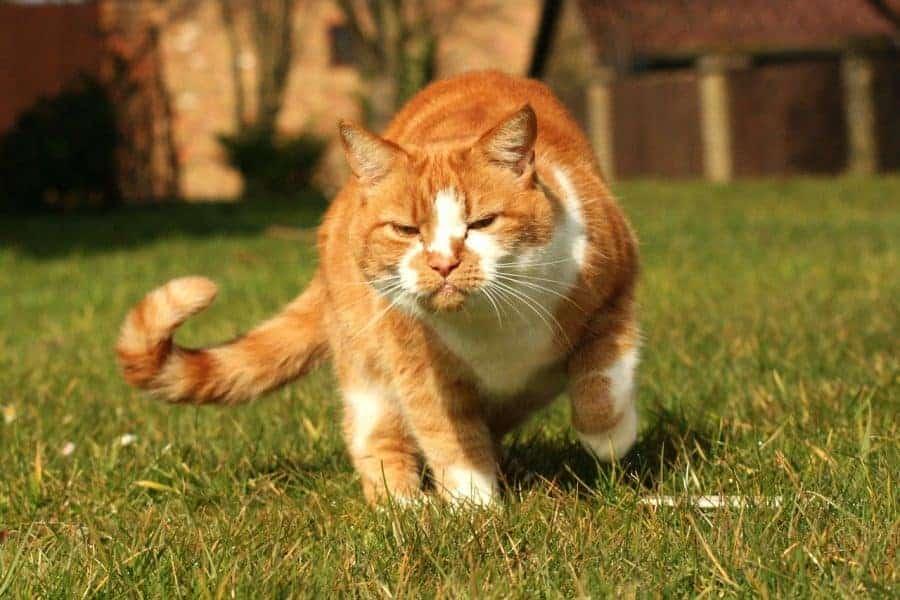 cat-waving-tail-e1562988107609