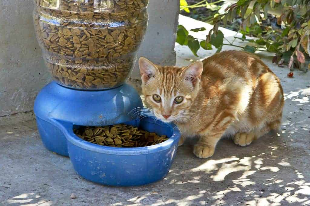 A cat pauses over a bowl of food