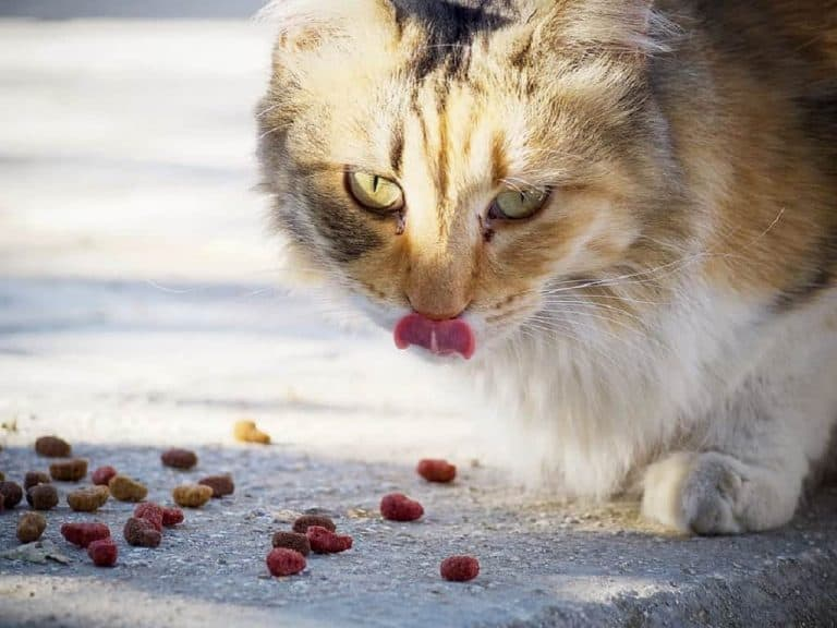 cute brown and white cat enjoying food
