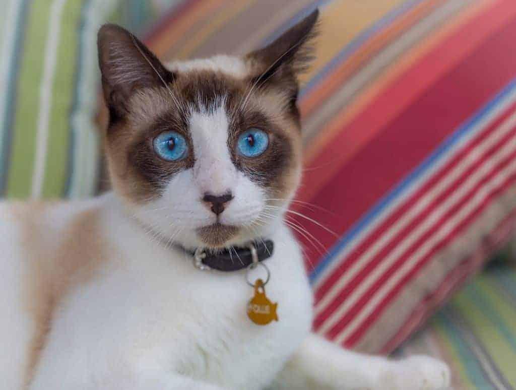 Cat Animal Kitten Cute Eyes Blue Adorable Sweet