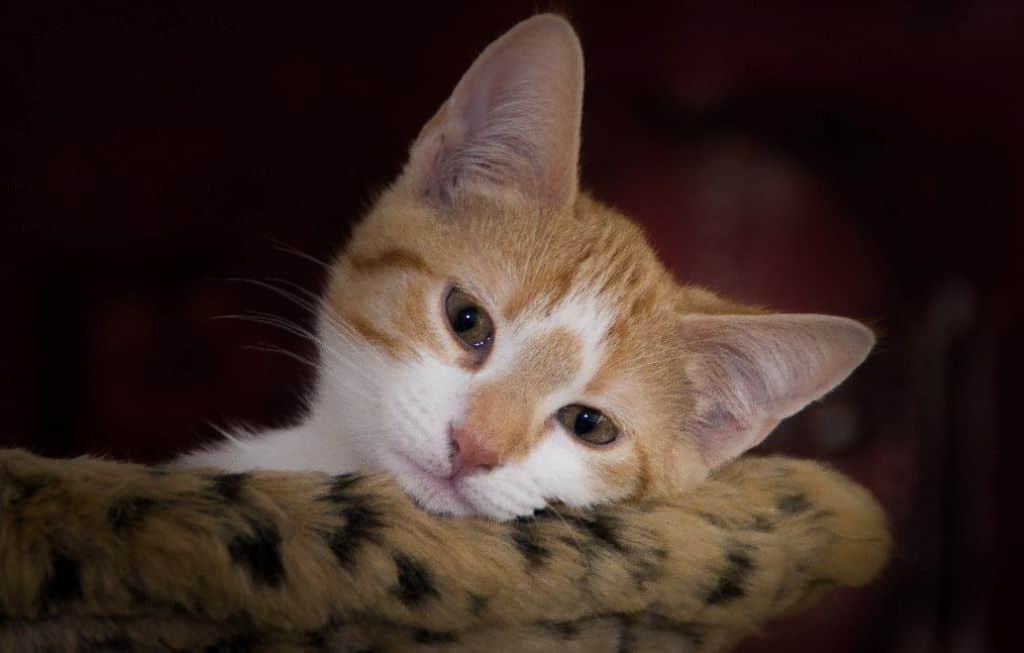 orange tabby kitten leaning on sofa