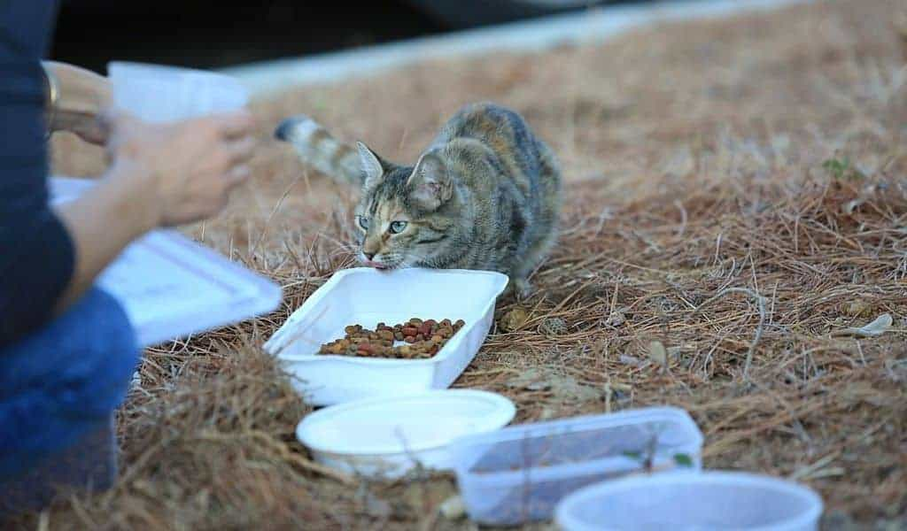 grey cat feeding outside
