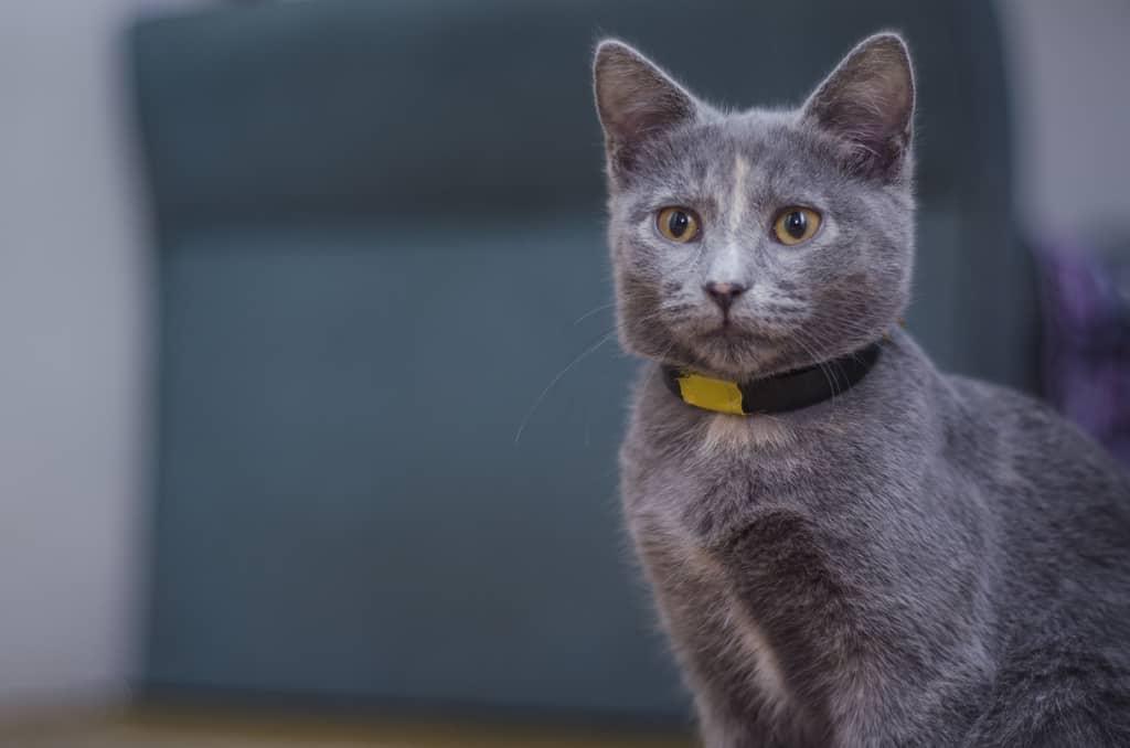 cute kitty wearing a tracker