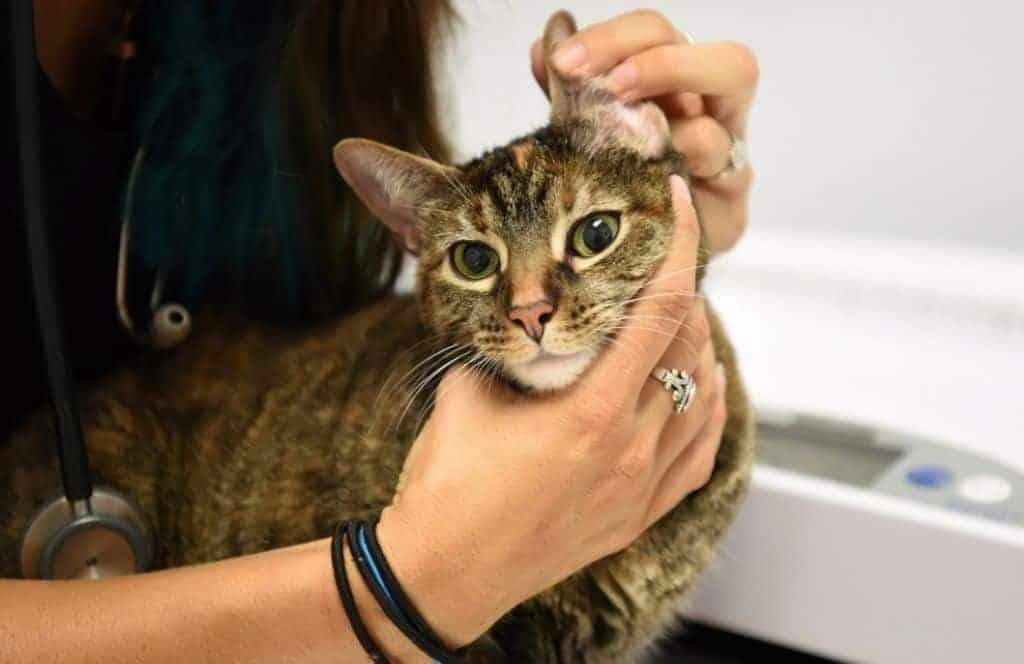 veterinary technician palpates a cat