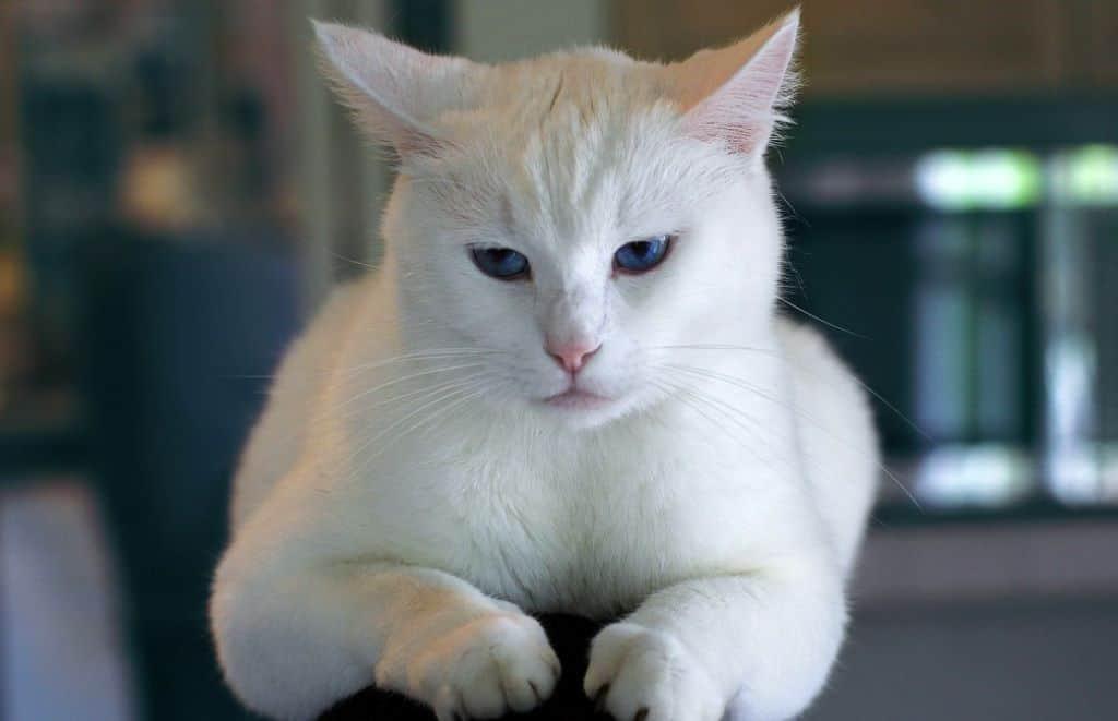 white kitten cat sitting on sofa