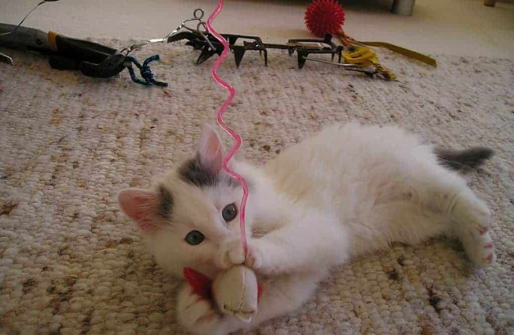 White gray kitten playing with a chew toy